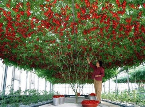 A trellised Italian Tree Tomato