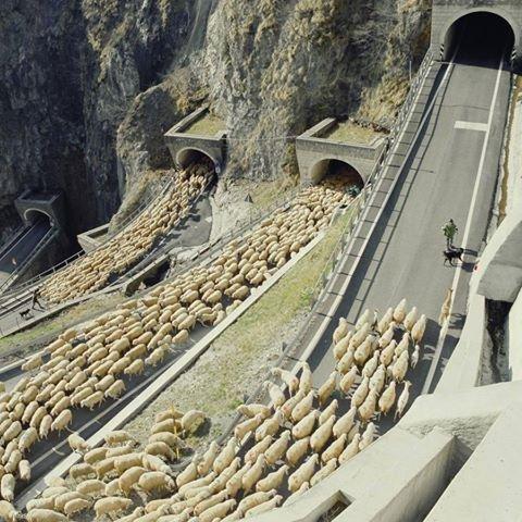 juhok az úton