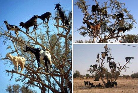kecskék a fán Marokkóban